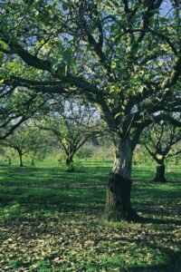 Walnut Grove - Milawa