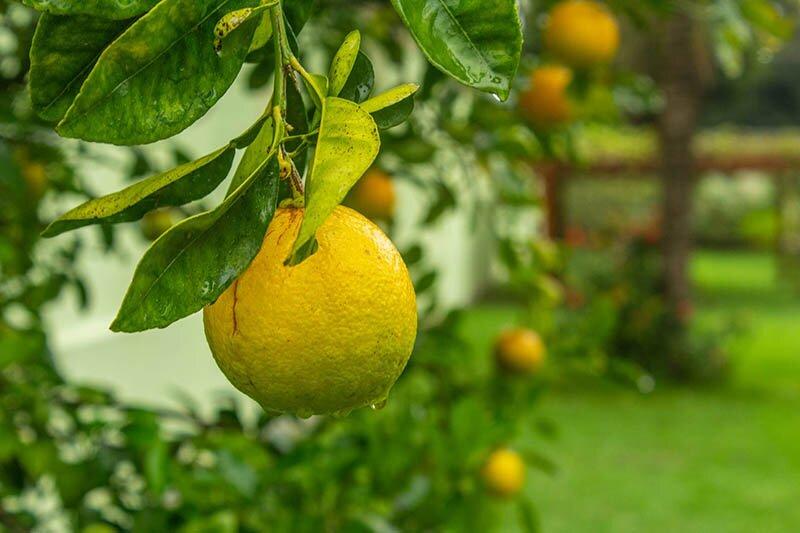 lemon caravans